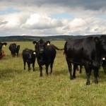Cattle Blind