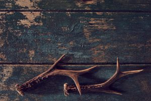 Shed Antlers